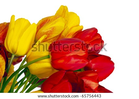 Yellow and red tulips, white background. - stock photo