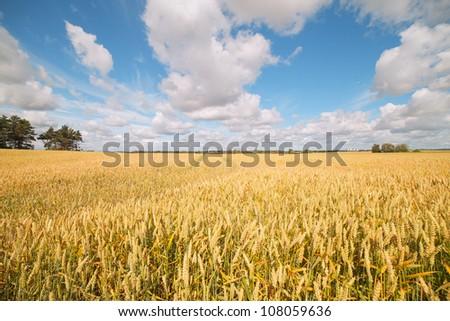 Yellow and ripe wheat field. - stock photo