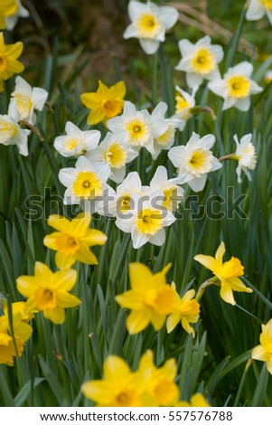 Yellow white daffodil flowers daffodowndillys narcissus stock photo yellow and white daffodil flowers daffodowndillys narcissus field mightylinksfo