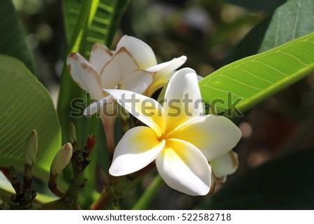 Yellow white frangipani tree flowers or stock photo edit now yellow and white frangipani tree flowers or temple tree red paucipan mightylinksfo