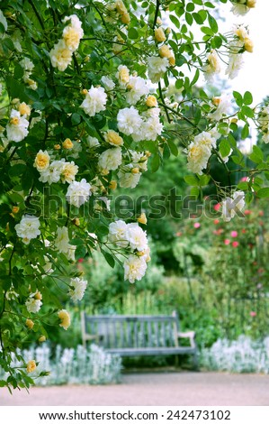 Yellow and white rose flowers - stock photo