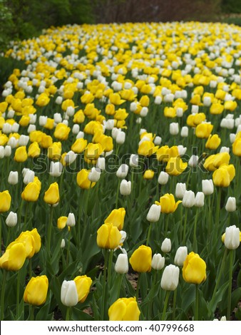 Yellow and white tulips on Canadian Tulip Festival in Ottawa - stock photo