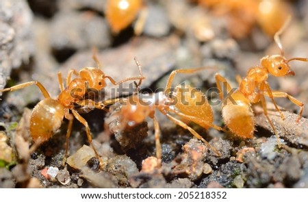 Yellow ants (Lasius Flavus) in anthill, extreme macro shot. - stock photo