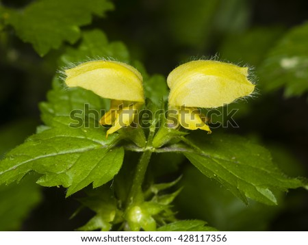 Yellow archangel or artillery plant, Lamium Galeobdolon, flowers and leaves, close-up, selective focus, shallow DOF