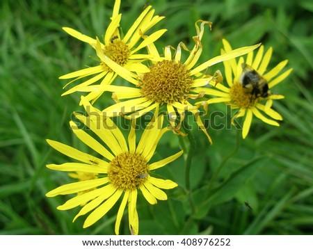 yellow arnica flowers close-up - stock photo