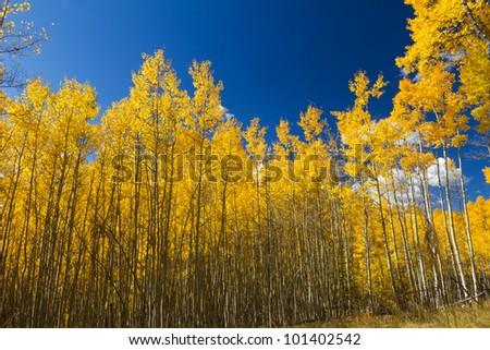 Yellow Aspen Trees Contrast Blue Sky Background - stock photo