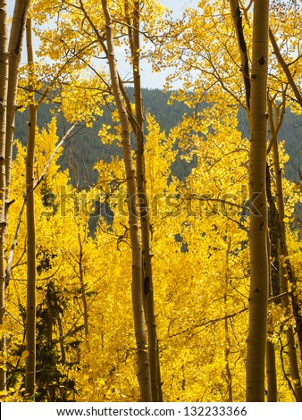 Yellow aspens on sunny Autun day in Colorado.