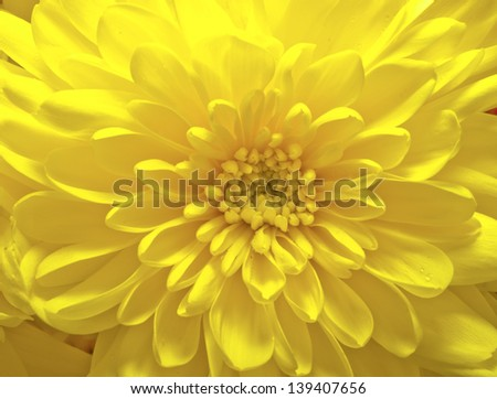 Yellow aster flower at a macro shot