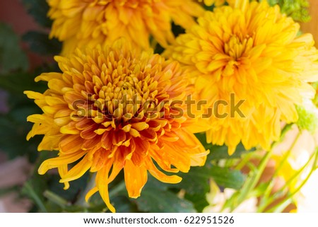 yellow asters stock images, royaltyfree images  vectors, Beautiful flower