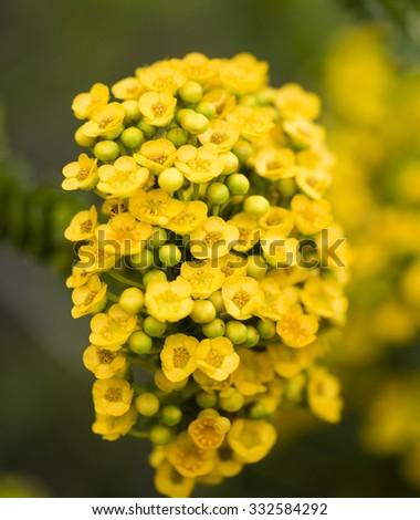 Yellow Australian wildflowers - stock photo