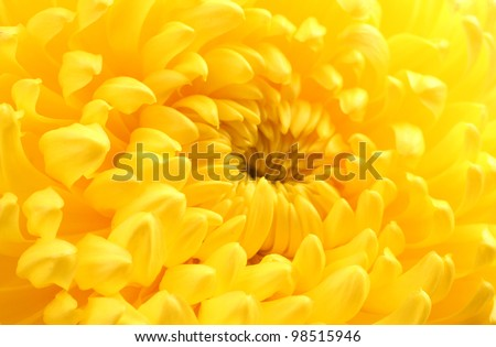Yellow autumn chrysanthemum macro