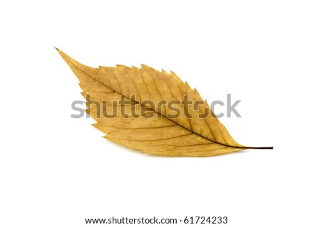 Yellow autumn leaf over white
