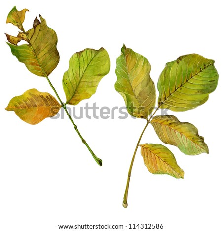 yellow autumn leaves illustration isolated on white background - stock photo