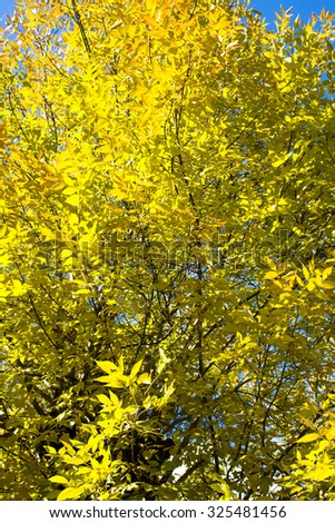 yellow autumn leaves of the tree