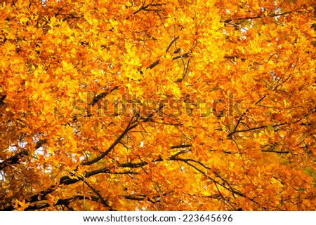 Yellow autumn oak leaves and branches on a sunny day - stock photo