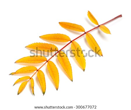 Yellow autumn rowan leaves. Isolated on white background. Selective focus. - stock photo