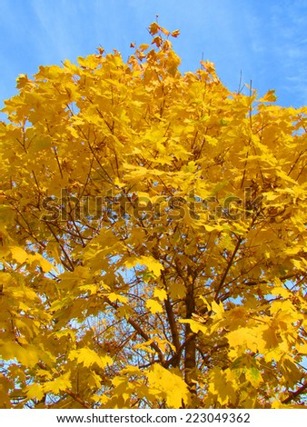 Yellow autumn tree and blue sky. Colorful photo. Beautiful background. - stock photo