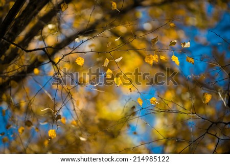 Yellow autumnal birch foliage, selective focus and shallow DoF - stock photo