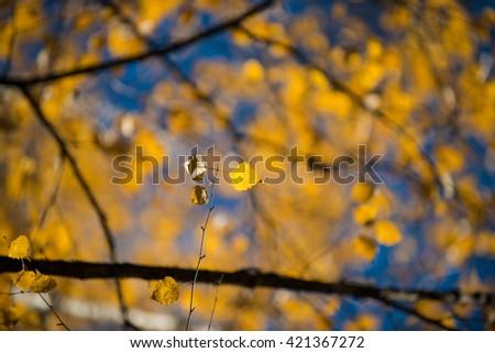 Yellow autumnal birch foliage, selective focus and shallow DoF - stock photo