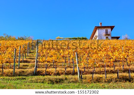 Yellow autumnal vineyard on the hill under clear blue sky in Piedmont, Northern Italy.