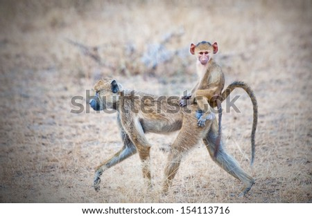 yellow baboon mother walking through the savannah with its baby on the back - national park selous game reserve in tanzania - stock photo