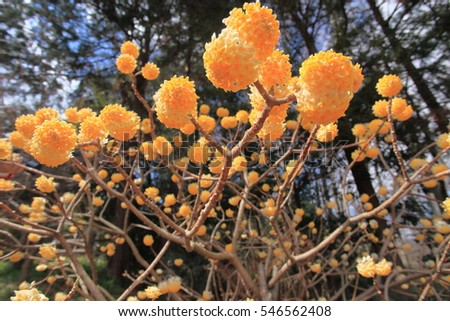 Yellow ball flowers stock photo royalty free 546562408 shutterstock yellow ball flowers mightylinksfo