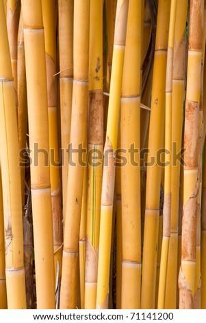 Yellow bamboo. - stock photo