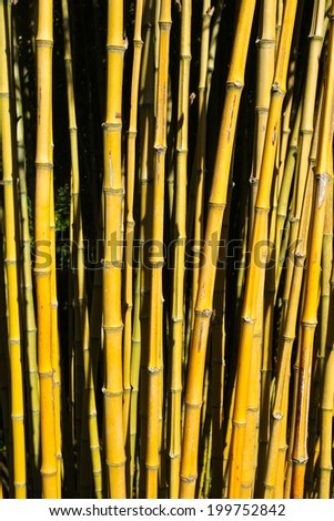 Yellow Bamboo Canes - stock photo