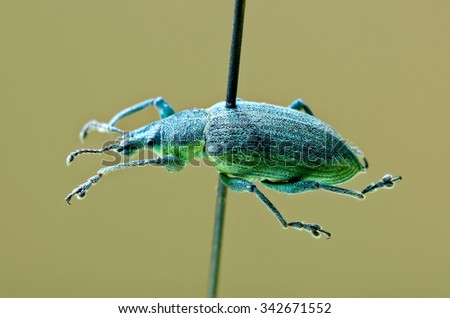 Yellow banded leaf weevil on an entomological pin. - stock photo