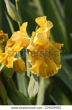 Yellow Bearded iris (tall bearded, medians and dwarfs)  hardy perennials grown from rhizomes add charm to the cottage garden with decorative blooms from spring to summer. - stock photo