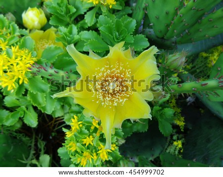Yellow beautiful flower prickly green cactus closeup. - stock photo
