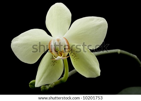 yellow beautiful orchid isolated on black background - stock photo