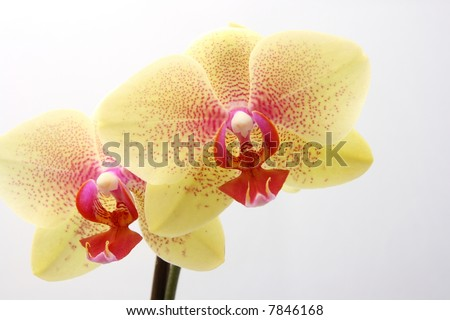 yellow beautiful orchid isolated on white background - stock photo