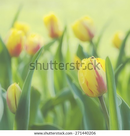 Yellow beautiful tulips field in spring time, floral tender soft easter background - stock photo