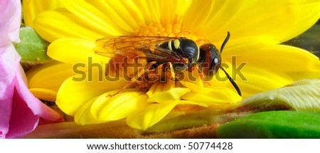 YELLOW BEE-PIRATE WASP  Order; HYMENOPTERA. FAMILY; Philanthinae