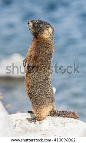 Yellow-bellied marmot (Marmota flaviventris) from the Grand Teton national park. Wyoming, USA - stock photo