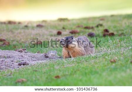 Yellow-bellied marmot near it's burrow.  Near Wilson's Landing by Kelowna, British Columbia, Canada. - stock photo
