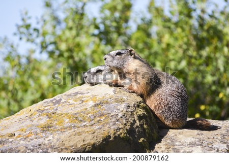 yellow belly marmots - stock photo