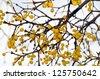 Yellow berries of mistletoe (Viscum album) shot in winter - stock photo