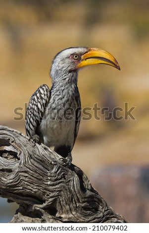 Yellow billed Hornbill in an perfect pose