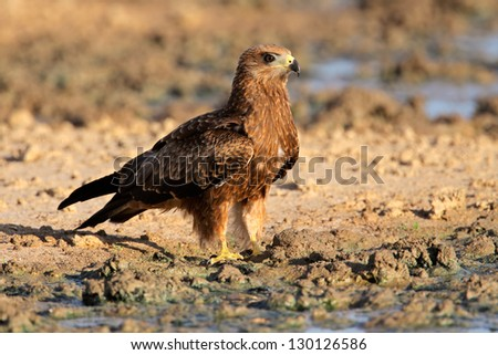 Yellow-billed kite (Milvus aegyptius) sitting on the ground, Kalahari desert, South Africa - stock photo
