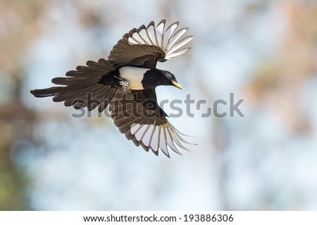 Yellow-billed Magpie - stock photo