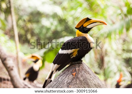 Yellow Billed or Great indian or Great pied hornbill. - stock photo