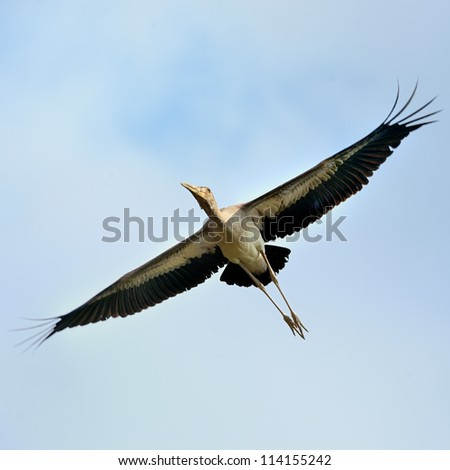 Yellow-billed Stork is flying in the sky.