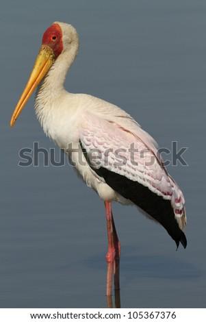 Yellow-billed Stork (Mycteria ibis) - stock photo