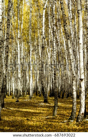 yellow birch forest, late autumn
