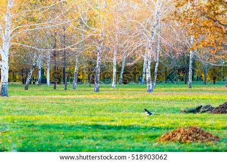 Yellow birch in autumn Park as background