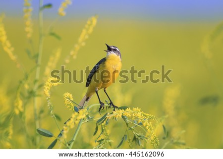 yellow bird Wagtail sings on the flowering  meadow in summer - stock photo