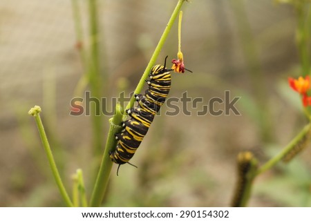 """Yellow, black and white striped """"Monarch Butterfly"""" caterpillars in Innsbruck, Austria. Its scientific name is Danaus Plexippus, native from North America to Northern South America. - stock photo"""