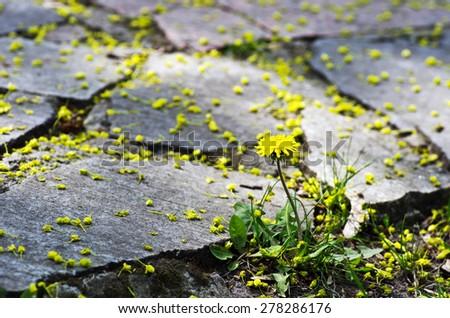 Yellow blooming dandelions growing between paving. - stock photo